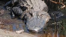 Alligator Alligator in Savannah Georgia. Thinkstock Folder: tr-TrippingGator (Josh Bishop/Getty Images/iStockphoto)