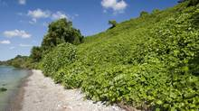 Kudzu on a bluff overlooking Lake Erie, near Leamington, Ont.