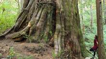 An old-growth tree dubbed the Castle Giant is located on Vancouver Island in the Upper Walbran Valley, an area unprotected against logging. (TJ Watt/Ancient Forest Alliance)