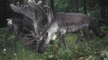 Woodland caribou in the Selkirk mountain range of British Columbia, Canada are shown in this handout photo released to Reuters November 29, 2011. (REUTERS)