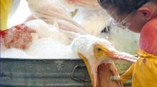 A volunteer uses a toothbrush to clean an oil covered white pelican found off the Louisiana coast (SAUL LOEB)