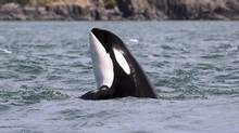 A new study raises concerns about the potential role of infectious diseases as another major stress factor for the struggling population of endangered Puget Sound orcas. (Mark Malleson/THE ASSOCIATED PRESS)