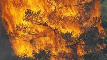 Flames engulf a tree during a wildfire. (RICK WILKING/REUTERS)