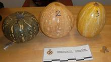 Pumpkins seized by Canada Border Services Agency are shown in a handout photo. Border officials have stumbled upon a different kind of Halloween surprise inside some pumpkins this year. The pumpkins were in a passenger's luggage at the Montreal airport. And they were stuffed with approximately two kilograms of what is believed to be cocaine. (THE CANADIAN PRESS)