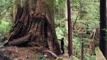 Logging company Teal-Jones is looking to cut in the Central Walbran Ancient Forest, near hiking trails that lead to old trees, including the Castle Giant. (Shane Johnson)