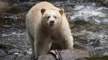 A Kermode bear, better know as the Spirit Bear is seen fishing in the Riordan River on Gribbell Island in the Great Bear Rainforest, B.C. Wednesday, Sept, 18, 2013. New information reveals ending the controversial grizzly hunt in British Columbia's Great Bear Rainforest will cost millions and means hunters don't have to put away their rifles just yet. (JONATHAN HAYWARD/THE CANADIAN PRESS)