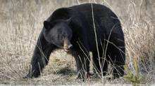 A black bear forages for food in Jasper National Park, Alta., Wednesday, May 7, 2014. (Jeff McIntosh/THE CANADIAN PRESS)