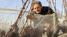 Wine producer Paul Bosc of Chateau des Charmes photographed with netted grapes at his winery in Niagara-on-the-Lake, Ont., Dec. 20/2009. (Kevin Van Paassen/KEVIN VAN PAASSEN/THE GLOBE AND MAIL)
