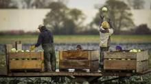 Farmworkers harvest cabbages at a farm in Richmond, B.C., on Nov. 6, 2013. (John Lehmann/The Globe and Mail)