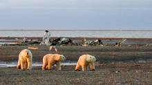 Three polar bears walk along the shores of the Beaufort Sea. Chevron has won a federal auction by committing to spend $103-million exploring a 205,000-hectare deep-water parcel. (HO)