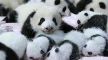 PICK OF THE LITTER: Giant panda cubs lie in a crib at Chengdu Research Base of Giant Panda Breeding in Chengdu, in China's Sichuan province. (REUTERS)