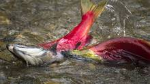 Sockeye salmon (JOHN LEHMANN/JOHN LEHMANN/THE GLOBE AND MAIL)
