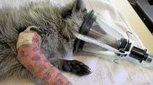 The raccoon injured last week sports a cast at the Procyon Wildlife Rehab Centre. (Jai Longhurst for The Globe and Mail)