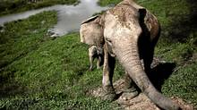 Sumatran elephants in Way Kambas, Lampung, Indonesia. (Ulet Ifansasti/Getty Images/Ulet Ifansasti/Getty Images)