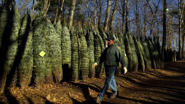 Jose Cruiz walks past a row of Christmas trees ready to be shipped at Peak Farms in Jefferson, N.C., Nov. 17, 2012. Crews at Peak Farms will harvest nearly 65,000 Christmas trees this season. (CHRIS KEANE/REUTERS)