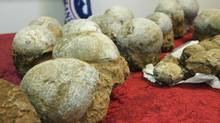 Fossilized dinosaur eggs. (NICK UT/NICK UT/ASSOCIATED PRESS)