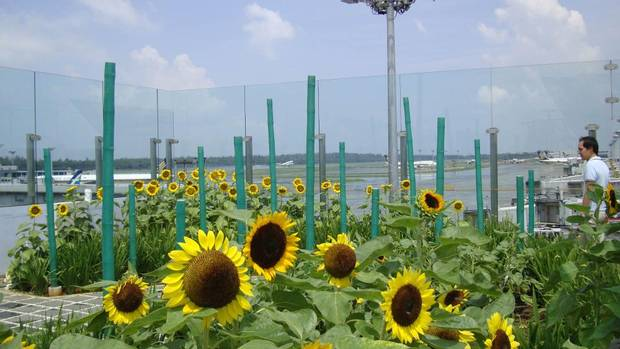 Plane watchers will love the tarmac views from Changi's outdoor Sunflower Garden, which also features bamboo paths and at night, firefly lights. (Changi Airport)