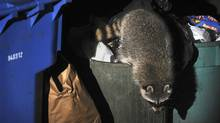 A raccoon rummages through a downtown-Toronto garbage can in this 2008 file photo. (Kevin Van Paassen/The Globe and Mail/Kevin Van Paassen/The Globe and Mail)