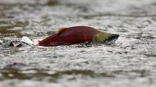 A sockeye salmon scurries through shallow water. (Andy Clark/ Reuters/Andy Clark/ Reuters)