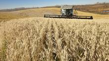 Third-generation farmer Alan Zweifel combines his 3,400 acres of wheat, barley, and canola crops in central Alberta. (Chris Bolin/CHRIS BOLIN for The Globe and Mail)
