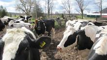 Holstein cows outside of Saugeen County Dairy in Grey County, Ont. (Steve Jenkinson for The Globe and Mail)