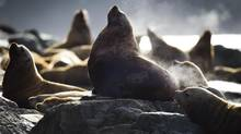 Sea lions bask in the sun near Sonora Island in British Columbia. (JOHN LEHMANN/THE GLOBE AND MAIL)