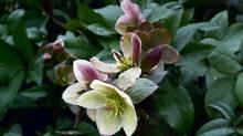 Helleborus x ballardiae 'Pink Frost' (John's Garden)