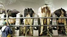 Cows go through the first of their twice daily milking at an Ontario farm in February of 2011. (Peter Power/Peter Power/The Globe and Mail)