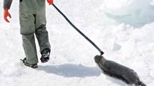 A seal hunter drags a harp seal back to his snowmobile during the annual seal hunt on a ice floe in the Gulf of St. Lawrence on April 2, 2005. (JONATHAN HAYWARD/THE CANADIAN PRESS)