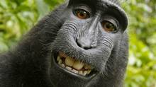 """This 2011 photo provided by People for the Ethical Treatment of Animals (PETA) shows a selfie taken by a macaque monkey on the Indonesian island of Sulawesi with a camera that was positioned by British nature photographer David Slater. The photo is part of a court exhibit in a lawsuit filed by PETA in San Francisco on Tuesday, Sept. 22, 2015, which says that the monkey, and not Slater, should be declared the copyright owner of the photos. Slater has argued that, as the """"intellect behind the photos,"""" he is the copyright owner since he set up the camera so that such a photo could be produced if a monkey approached it a pressed the button. (David Slater/Court exhibit provided by PETA via The Associated Press)"""