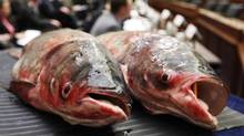 Two Asian carp are displayed Tuesday, Feb. 9, 2010, on Capitol Hill in Washington, during a Subcommittee on Water Resources and Environment hearing on preventing the induction of the carp, a aquatic invasive species into the Great Lakes. (Manuel Balce Ceneta/Manuel Balce Ceneta/AP)