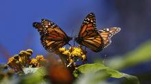 Monarch butterflies gather on top of flowers at the Monarch Butterfly Biosphere Reserve, near the town of Chincua, Mexico, Thursday, Feb. 26, 2009. (Marco Ugarte/Associated Press)