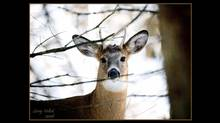 White-tailed deer like this one live in around Washington, D.C. (Larry Vollick/Larry Vollick)