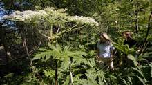 Conservation Lands Planner Victoria Maines, left, and Natural Heritage Ecologist Charlotte Cox walk through a patch of giant hogweed in Terra Cotta, Ont. on Monday, July 20, 2009. From poison ivy to wild parsnip to giant hogweed, noxious plants have the potential to make nature-lovers cringe in fear. (Darren Calabrese/The Canadian Press/Darren Calabrese/The Canadian Press)
