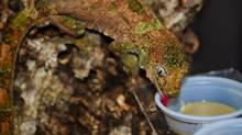 Here is a gecko eating from a Repti-Ledge. (Repti-Ledge)