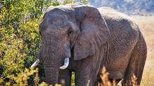 I lower the camera and the elephant continues to stare, then he moves in to examine our tiny car. (Ellen Keith)