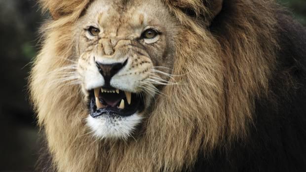 Lions often symbolize courage.
