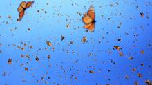 The monarch butterflies' extraordinary fall migration is an exercise in grace and tenacity, twin traits that are on full display in the IMAX film Flight of the Butterflies, which opens this week at the Ontario Science Centre in Toronto. (SK Films)