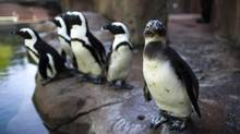 Endangered African penguins gather near the water at the Vancouver Aquarium. The exhibit opened May 18. (Rafal Gerszak For The Globe and Mail)