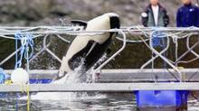 Springer the killer whale leaps in her pen near Telegraph Cove Sunday July 14, 2002, as her caretakers look on in the background. Officials have not said when she will be released from her pen but say she is in good health. (CHUCK STOODY/CP)