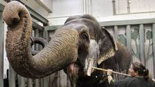 Lucy gets cleaned at the Edmonton Valley Zoo. Today's topics: budget backchat; good news for twentysomethings; Lucy's vet on what's best for the elephant; March weather ... and more (REUTERS)