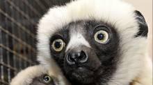 Jovian, the lemur star of the PBS show Zoboomafoo, has died, the Duke Lemur Center said on Nov. 11. (FACEBOOK)