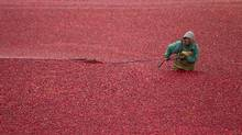 Red cranberries surround and frame the worker at this farm in Richmond, B.C. Using a float boom, a Mexican migrant worker rounds-up floating cranberries as part of the harvesting process at a cranberry farm. (John Lehmann/The Globe and Mail/John Lehmann/The Globe and Mail)