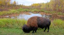 Bison appear out of nowhere in Elk Island National Park. (Beckie Scott/Beckie Scott for The Globe and Mail)