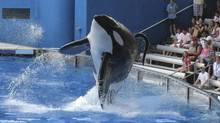 """Tillikum, a killer whale at SeaWorld amusement park, performs during the show """"Believe"""" in Orlando, in this Sept. 3, 2009 file photo. Theme park operator SeaWorld Entertainment Inc. said, Aug. 15, 2014, it would build bigger enclosures for its killer whales amid controversy over its killer whale shows. (MATHIEU BELANGER/REUTERS)"""