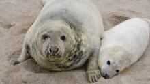 Sable Island is the the largest breeding colony of grey seals in the world. (Zoe Lucas)