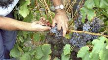 Grenache grapes, often uncredited in wines named for towns or châteaux, are the theme of a global wine summit this weekend.