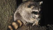 A raccoon sits in a tree after rummaging through a garbage can in Toronto on Sept. 1, 2008. (Kevin Van Paassen/The Globe and Mail)