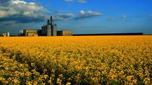 A canola field is seen in this file photo. (Canola Council of Canada)