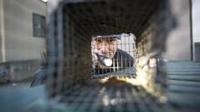 Jay McIntyre checks the bait in a trap used for both squirrels and rats behind a commercial building in Vancouver December 4, 2013. (John Lehmann/The Globe and Mail)